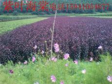 紫葉海棠 光輝海棠 亞當海棠