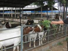 波爾山羊價格行情 遼寧小尾寒羊價格 2012年肉牛行情