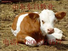 西門塔爾牛效益分析山東東昌牧業養殖繁育