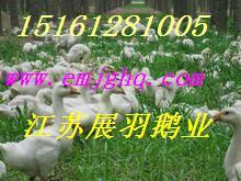 北京鹅苗价格