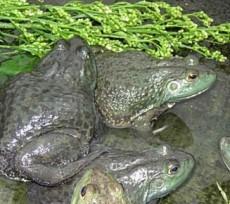 卫丰8号美蛙种苗