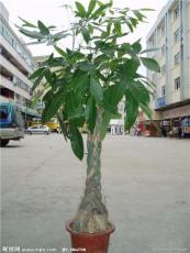 合肥公司开业送什么好-发财树