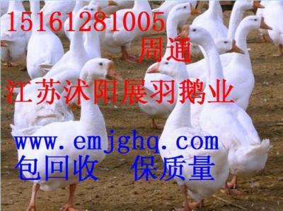 广西四季鹅苗价格