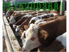 湖北省武漢市哪里的牛犢便宜