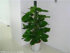 租植物 合肥租植物 绿萝