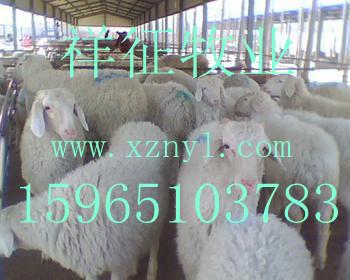 柞水县养殖小尾寒羊种羊的行情如何