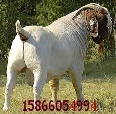 波尔山羊感冒怎么治疗 哪里的波尔山羊便宜