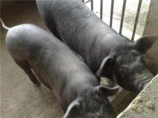 800元/头供应原种小母猪