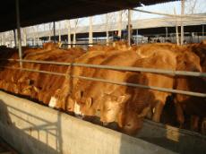 供应 种驴 鲁西黄牛 黄牛价格 高腿小尾羊