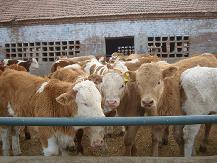 2013年的牛犊价格