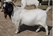 出售波尔山羊 白山羊 小尾寒羊等肉羊羔