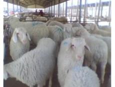 在哪里可以买到纯种小尾寒羊